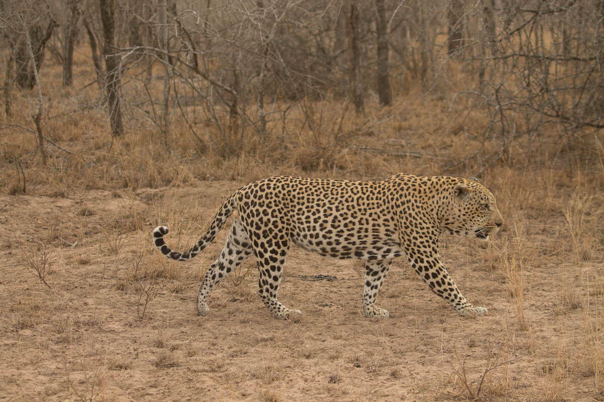 lleopard des d'un vehicle de safari