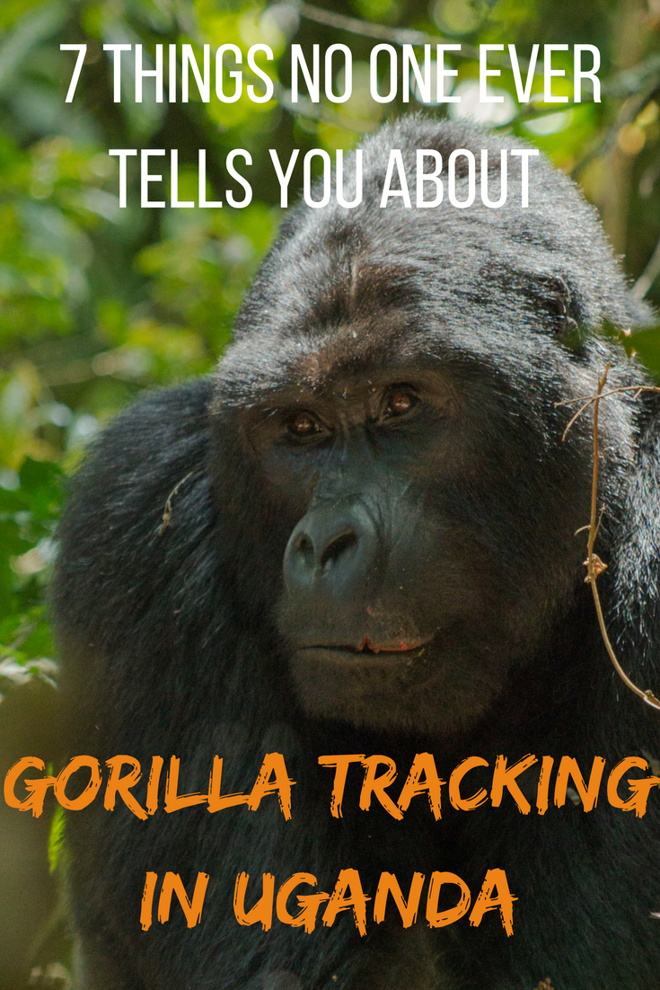 7 things no one ever tells you about gorilla tracking in Uganda