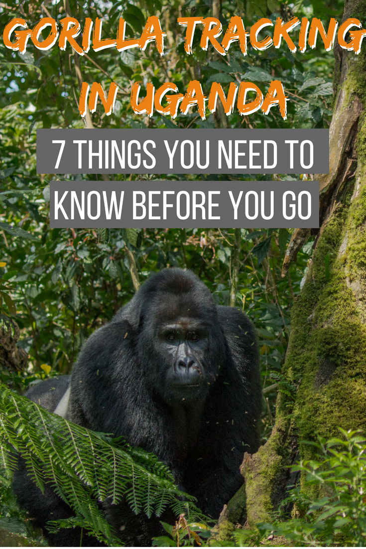 Gorilla tracking in Uganda: 7 things you need to know before you go