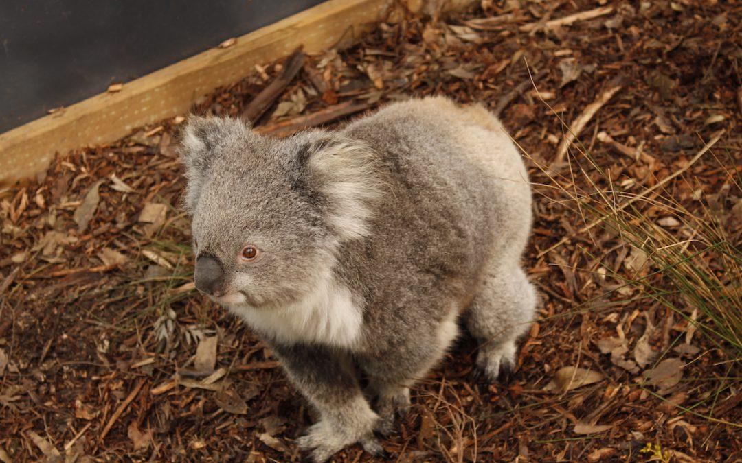 Oficialment a Austràlia: koales i cangurs