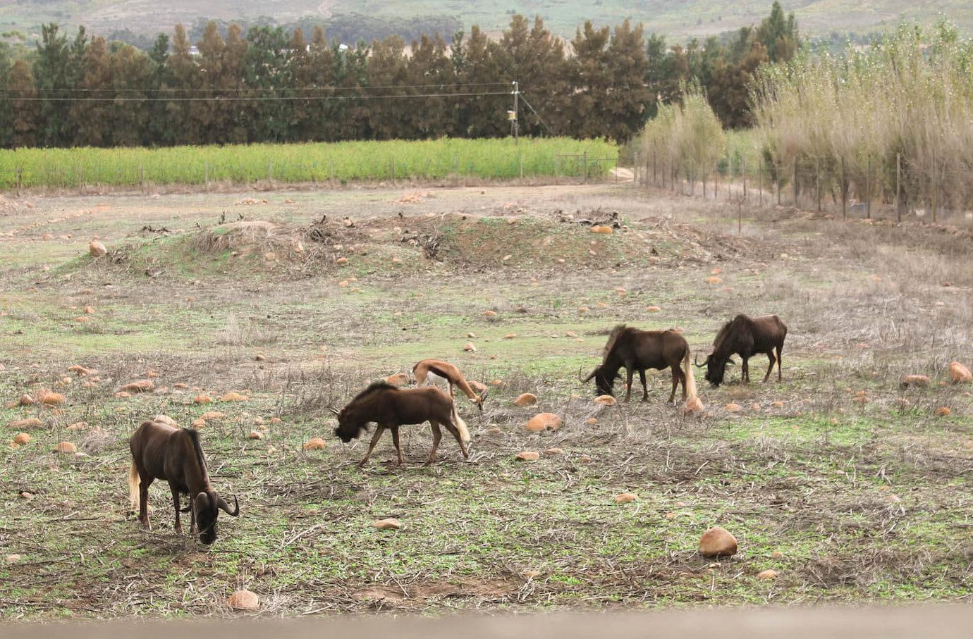 Wildebeest de Vindoux Guest Farm