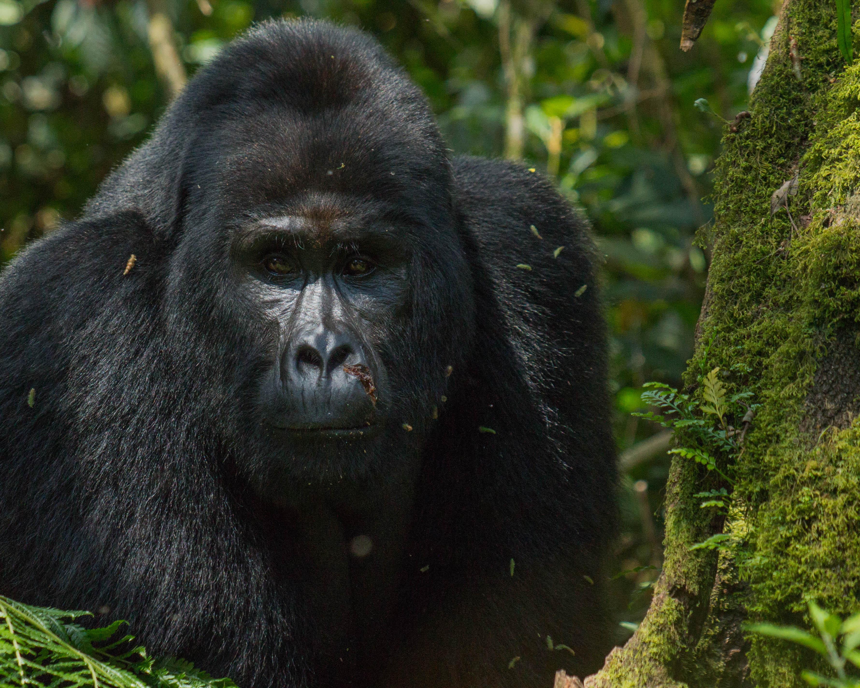 Excursió amb goril·les a Uganda