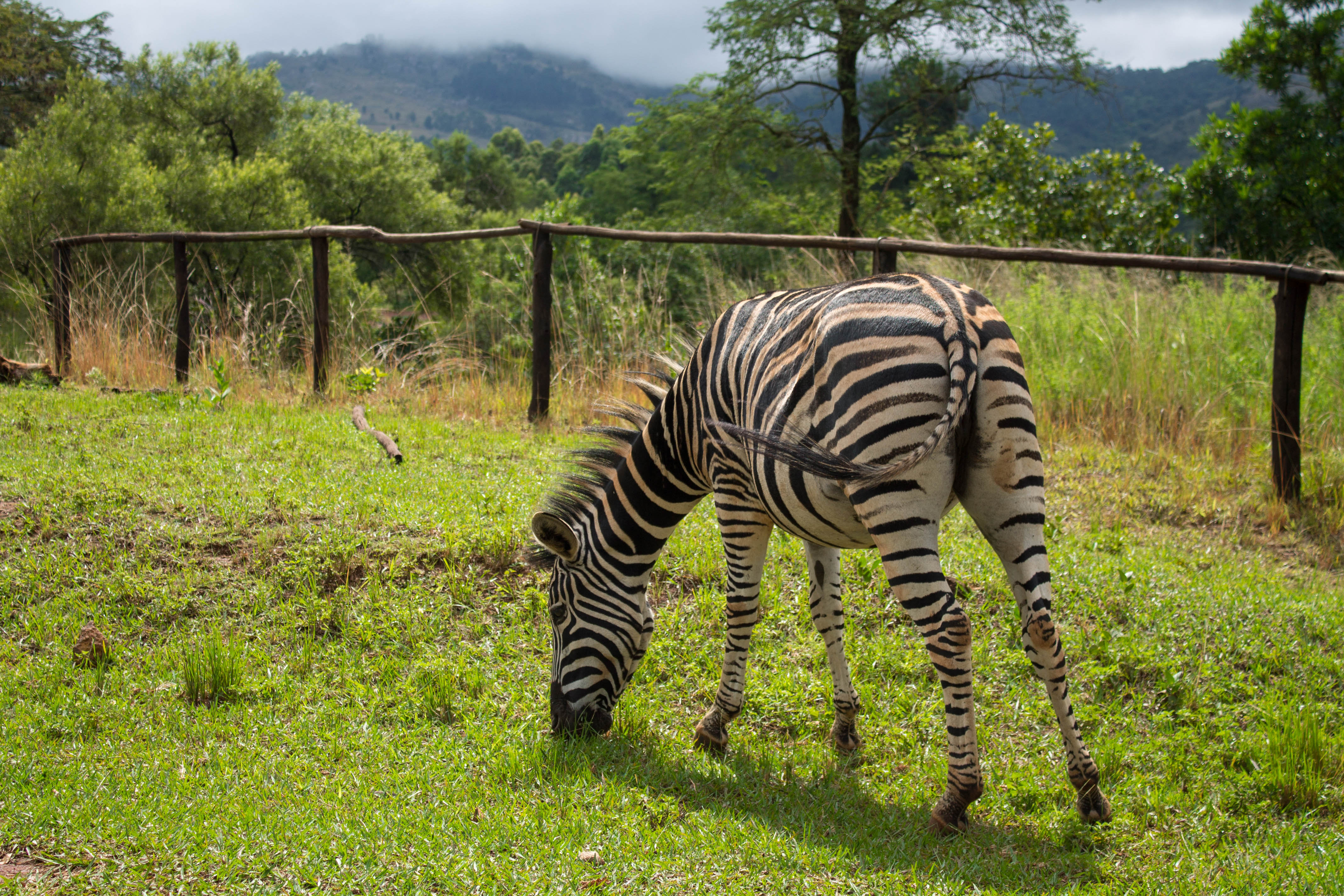 Mlilwane Wildlife sanctuary - itinerari de 3 dies a Swazilàndia