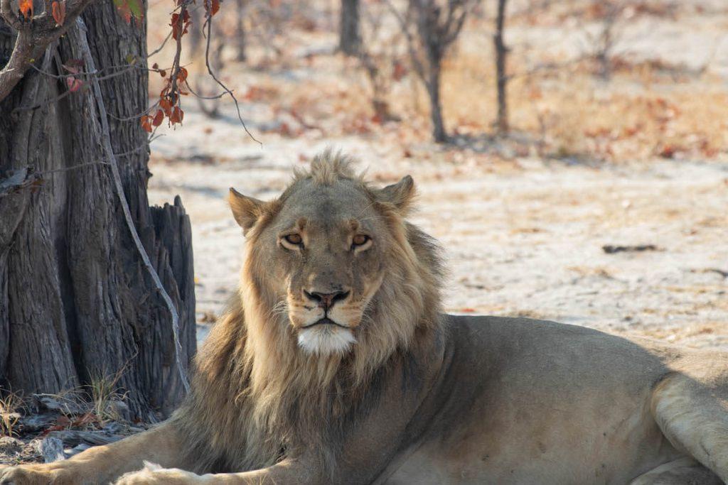 lleó mascle al Delta de l'Okavango