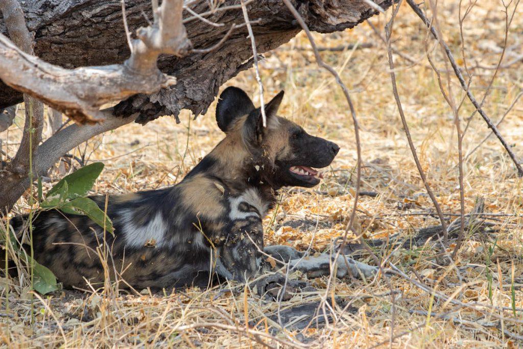 Gossos salvatges al Delta de l'Okavango