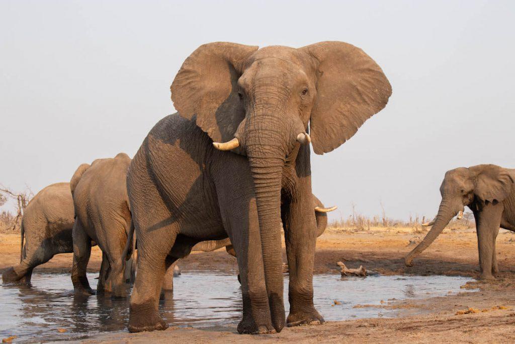 Veient els elefants des de l'habitació camuflada