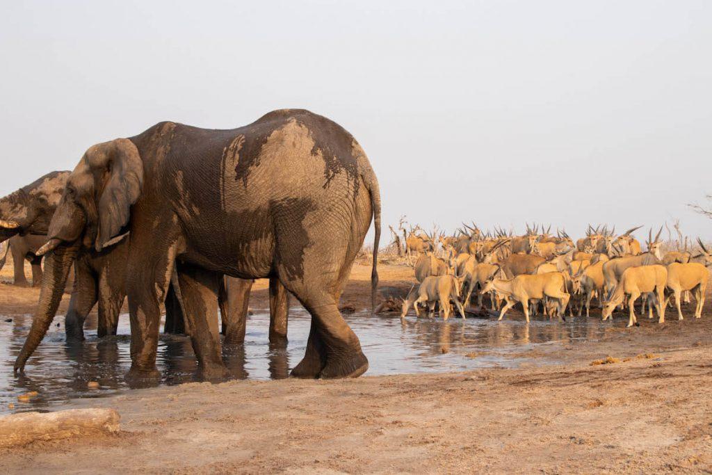 Veient els elefants i altres animals des de l'habitació camuflada
