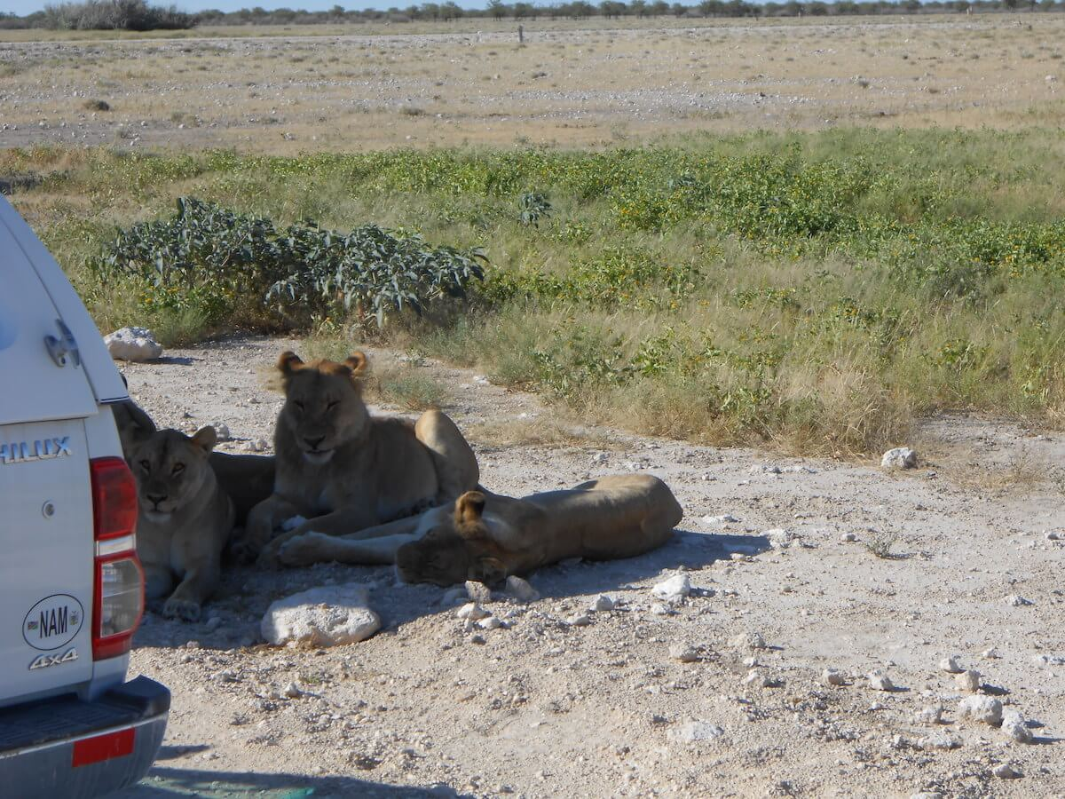 Lions in Etosha National Park