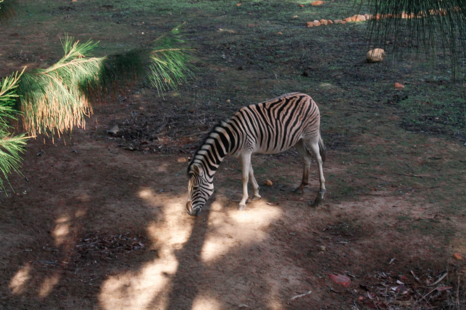 zebra at Vindoux Guest Farm
