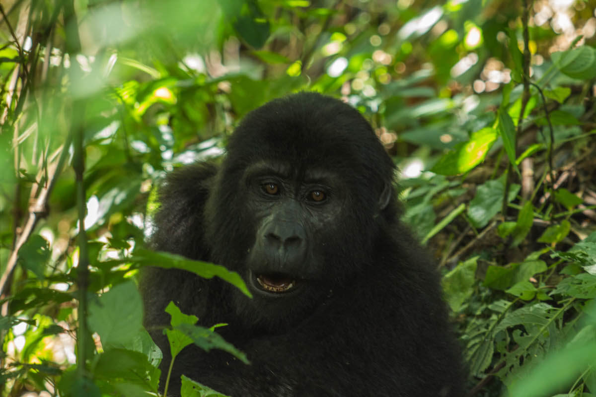 Gorilla tracking in Uganda, Bwindi National Park