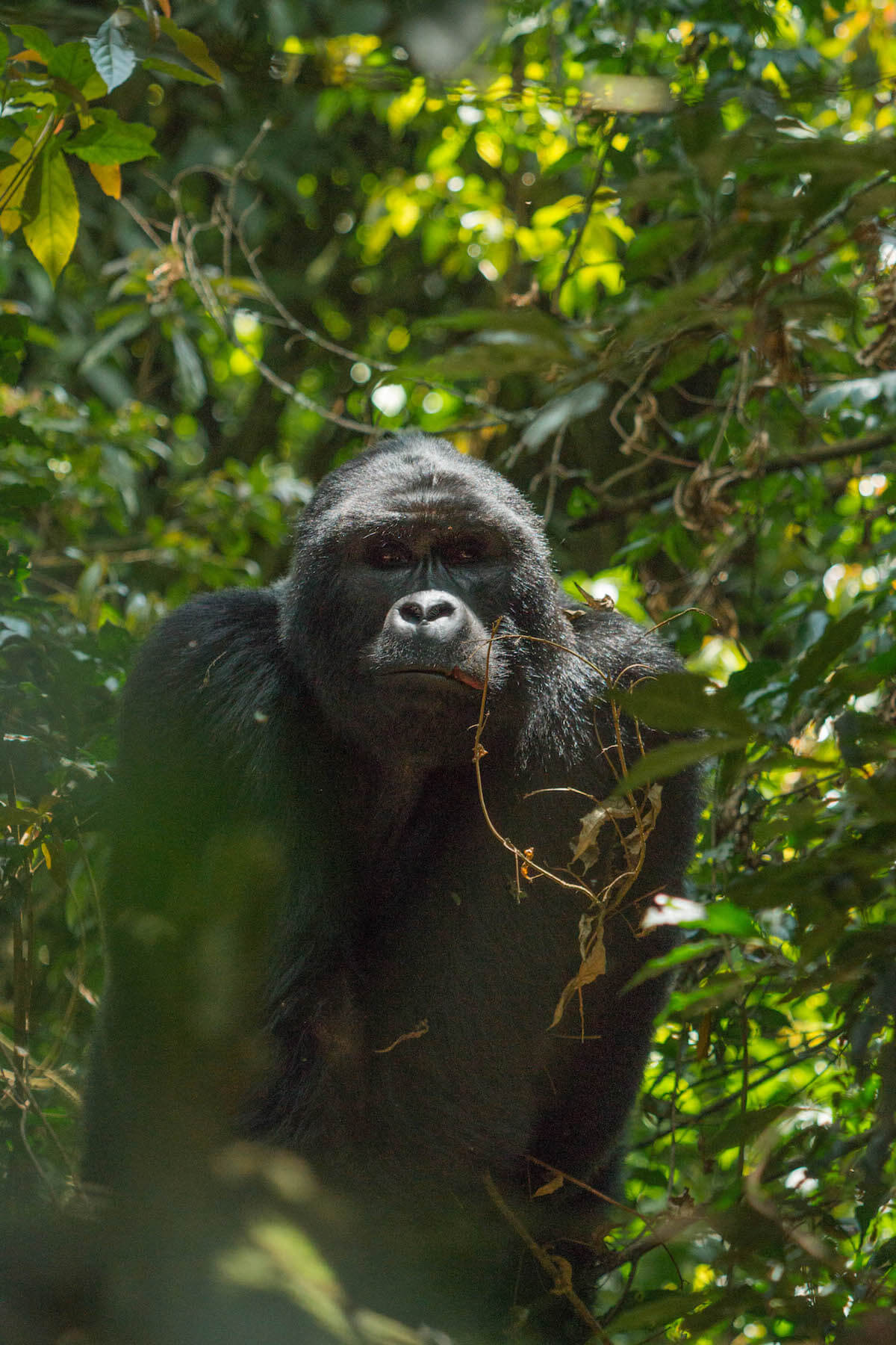 7 things no one tells you about gorilla tracking in Uganda