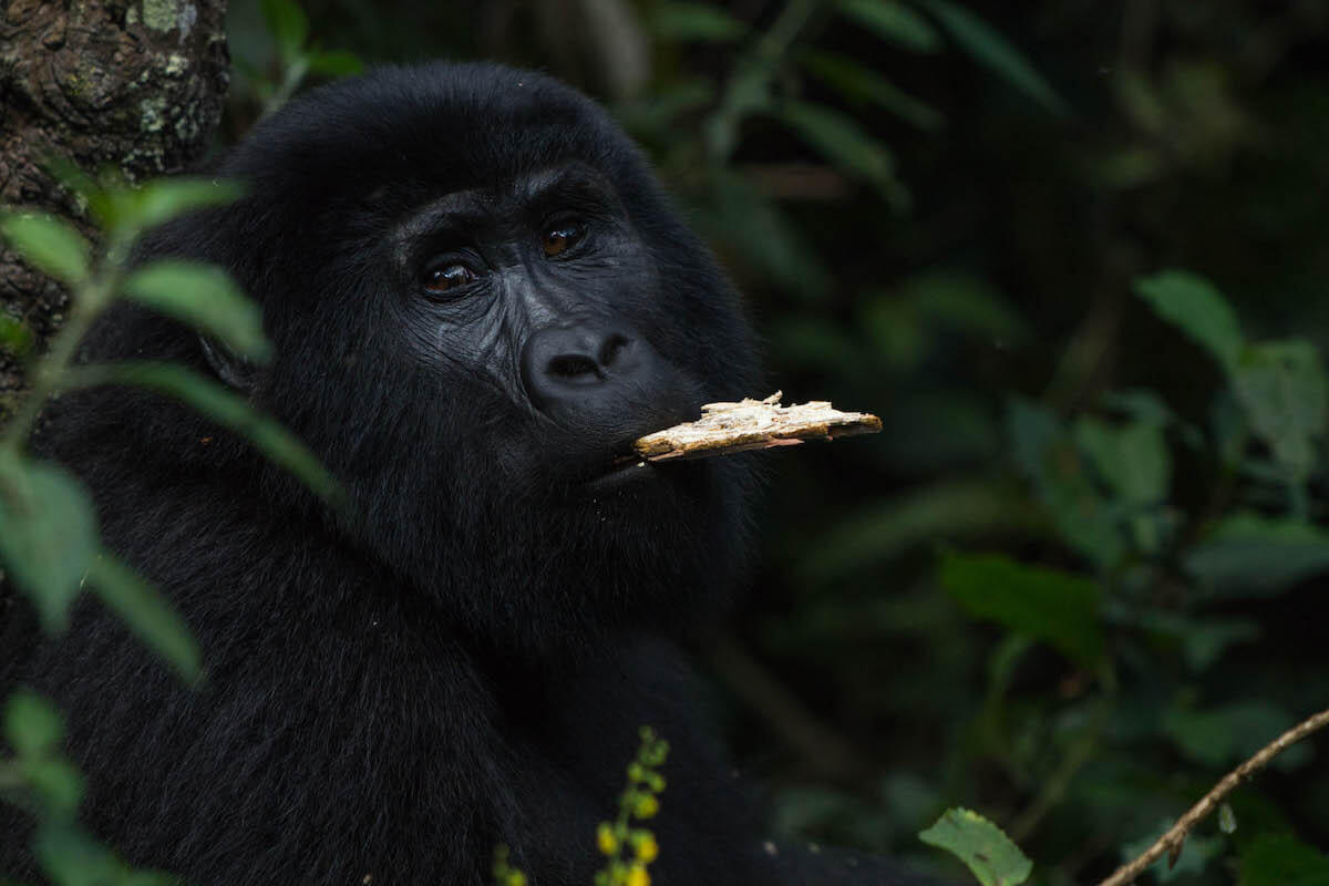 I'M 8 HOURS AHEAD Bucket List: tracking gorillas in Uganda