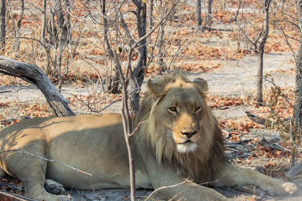 Lion male in the Okavango Delta