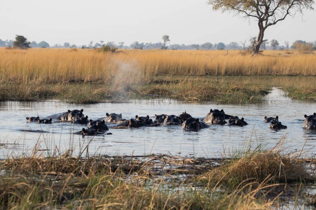 a school of hippos in the Okavango Delta