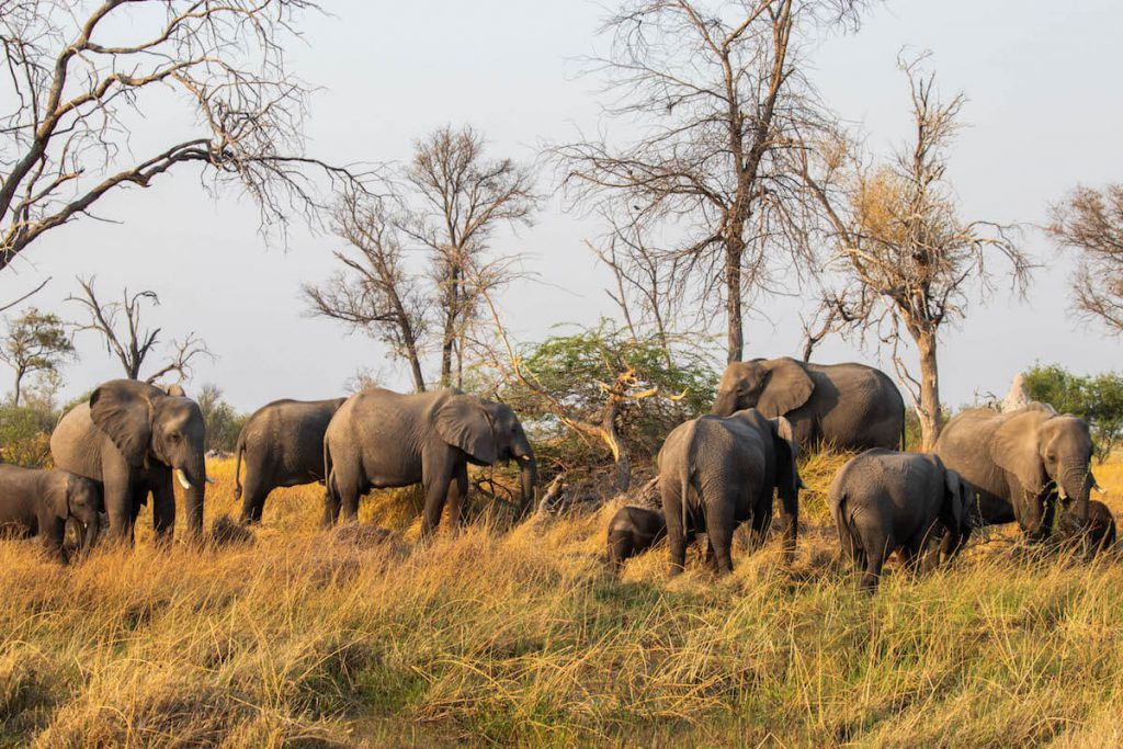 Group of elephants in the Okavango Delta