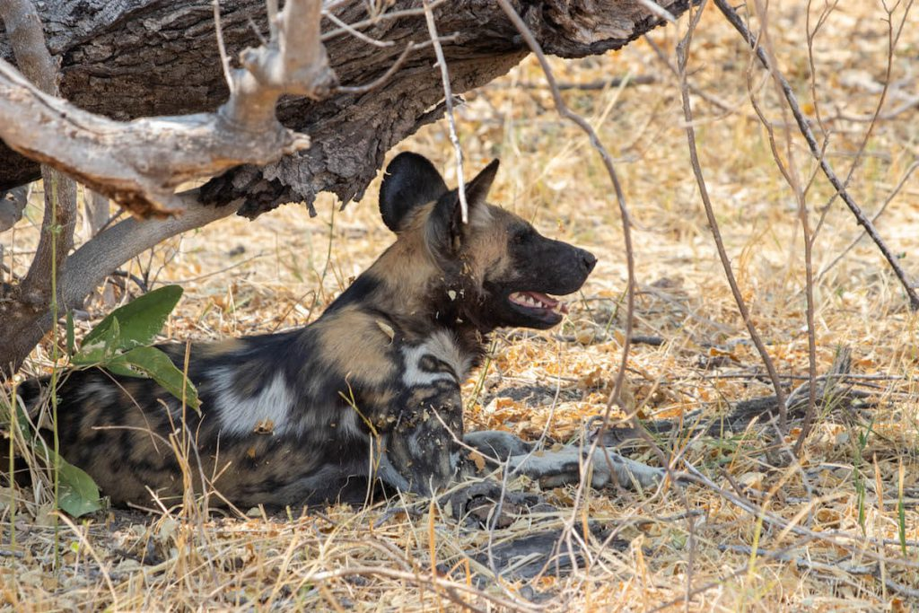 Finding wild dogs in the Okavango Delta