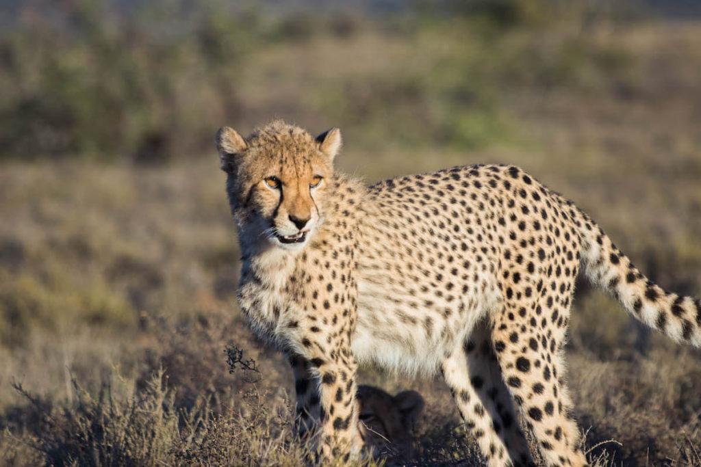 Tracking cheetah on foot at Samara Game Reserve