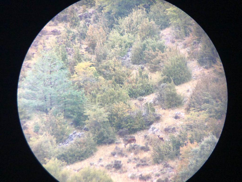 Deer rut in Catalunya