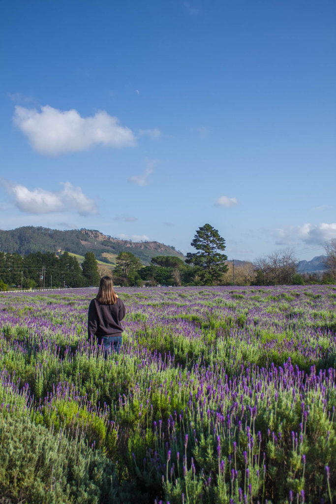 Lavender Farm field, Franschhoek